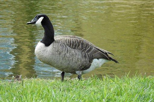 Goose, Canada Goose, Water Bird, Bird, Nature