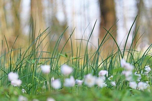Wood Anemone, Forest Flower, White, Anemone, Wild Plant