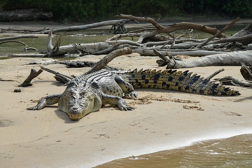 Saltwater Crocodile, Estuarine, Animal, Carnivorous