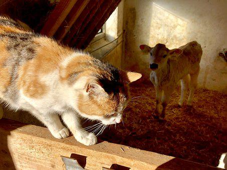 Farm, Country Life, Love, Animals, Cat, Cow, Calf