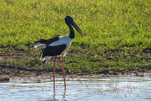 Jabiru, Black-necked Stork, Stork, Bird, Avian