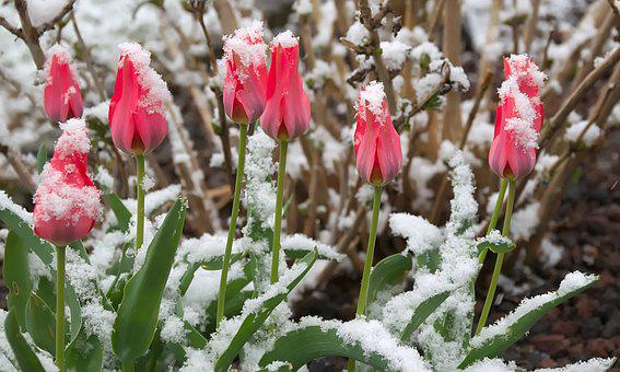 Mini Tulips, Snow, Red, Spring, Blossom, Bloom