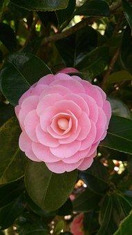 Camellia, Sinensis, Camelia, Tea, Plantation, Blossom