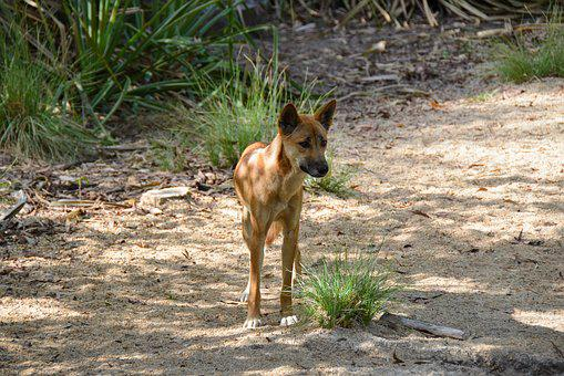 Dingo, Dog, Animal, Wild, Wildlife, Australian, Canine