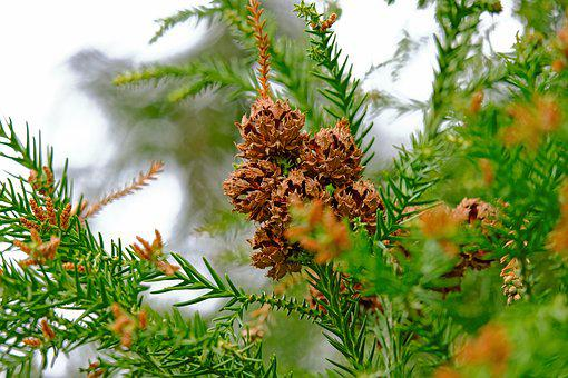 Tree Cones, Conifer, Nature, Tap, Aesthetic