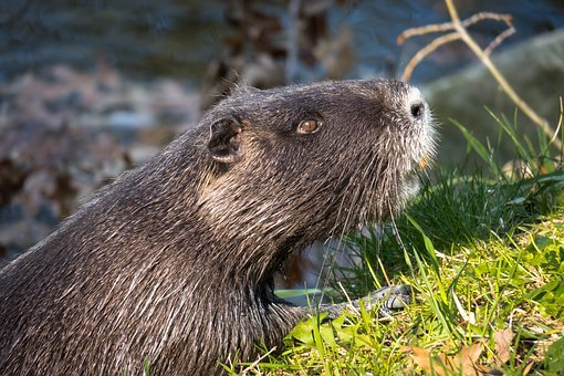 Nutria, Water Rat, Coypu, Beaver Tail, Rat Tail, Fur