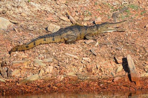 Freshwater Crocodile, Crocodile, Freshie, Australian