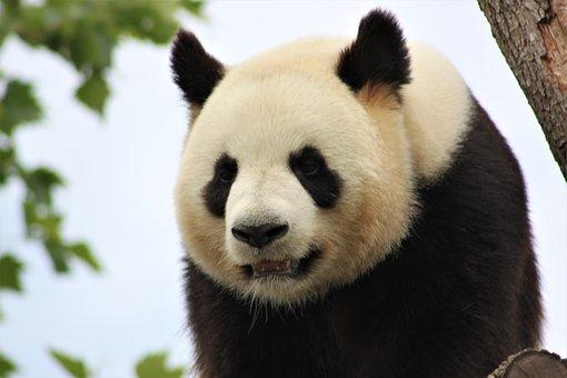 Panda, Zoo, Beauval, Cute, Animal, Mammal, Bamboo