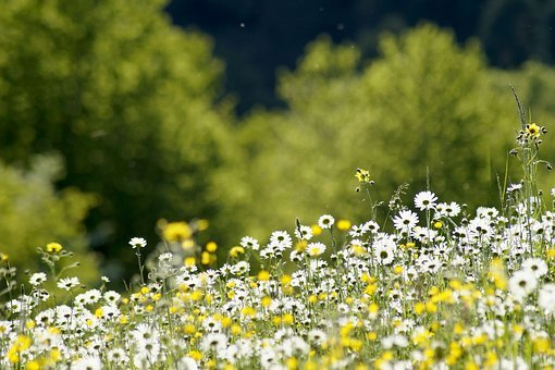 Meadow, Daisy, Flower, Marguerite, Plant, Green, White