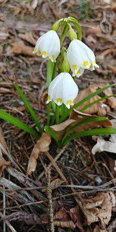 Snowflake, Harbinger Of Spring, Early Bloomer, Bloom