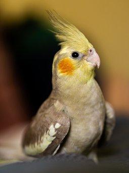 Nymph, Bird, Cockatoo, Cacatua, Ecuador, Manabi, Native