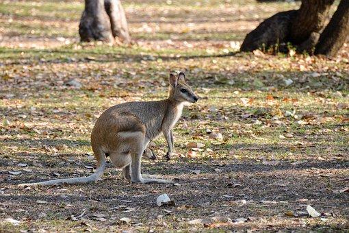 Wallaroo, Euro, Marsupial, Pouch, Joey, Mother