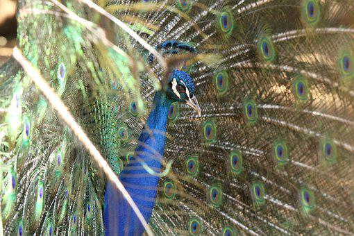 Bird, Peacock, Feathers, Colors, Dance, Mating Dance