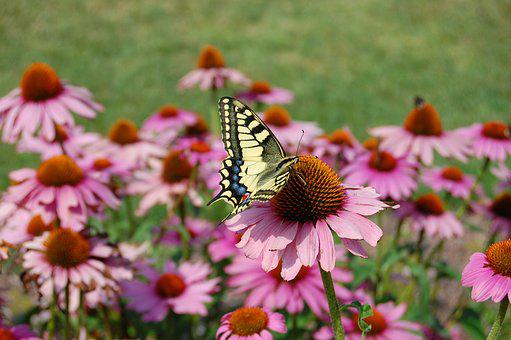Dovetail, Summer, Coneflower, Echinacea, Flower
