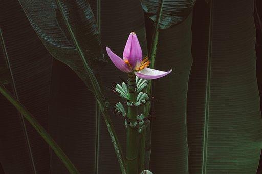 Flower, Banana, Banana Tree, Plant, Fruit, Tropical