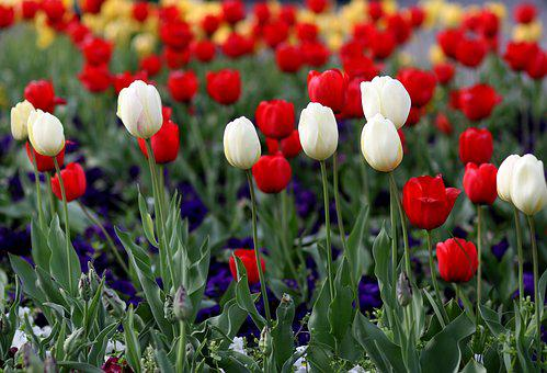 Tulips, Red, White, Coloring, Flower, Plant, Supplies