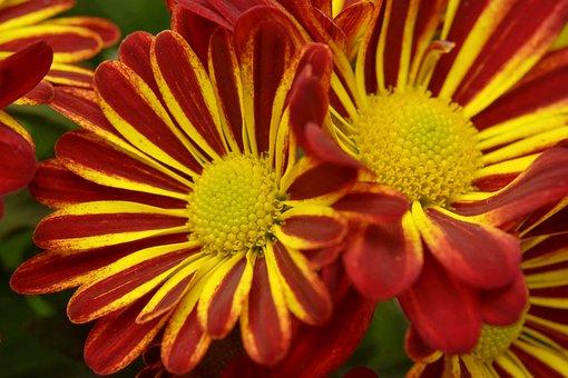 Chrysantéma, Flower, Beautiful, Romance, Beauty