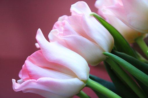 Tulips, Pink, Nature, Flowers, Tulip, Bulbs