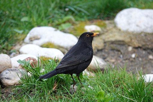 Blackbird, Foraging, Spring, Morning, Garden, Nature