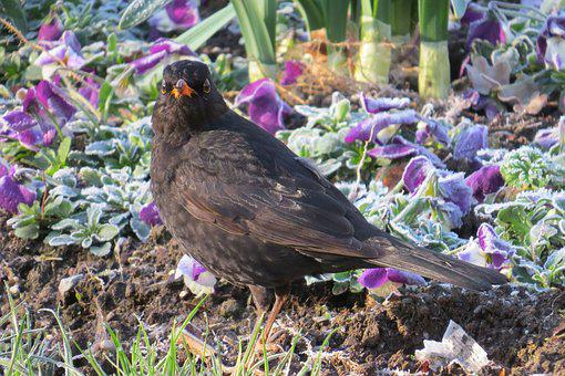 Blackbird, Frosty, Spring, Ripe, Cold, Flowers, Morning