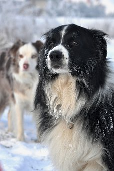 Winter, Border Collie, Fun, Sight