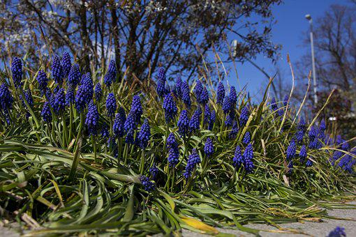 Flower, Grape Hyacinth, Plant, Nature, Spring, Blossom