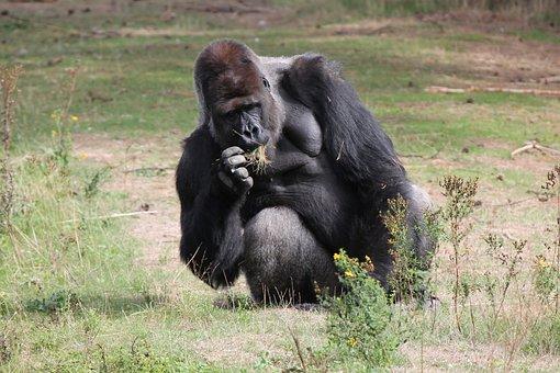 Food, Grass, Primate, Male, Gorilla