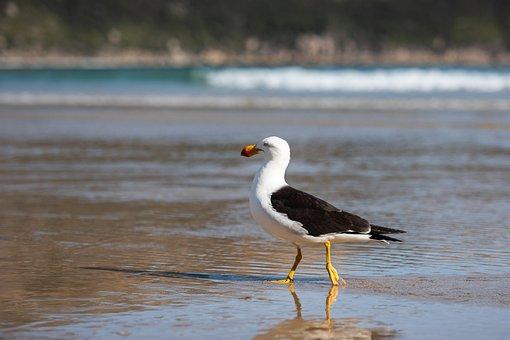 Gull, Seagull, Pacific Gull, Larus Pacificus, Laridae