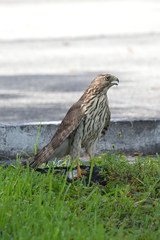 South Florida Hawk, Bird Of Prey, Hawks