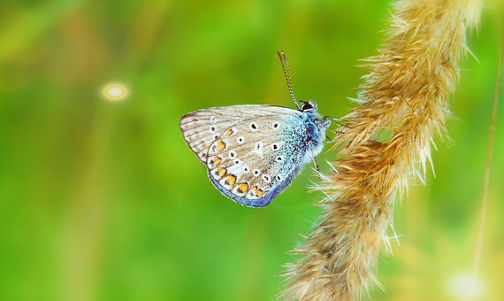 Polyommatus Icarus, Insect, Antennae, Butterfly Day