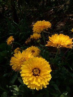 Flor, Flores, Naturaleza, Amarillo, Floral, Calendula