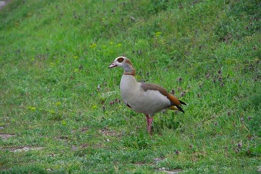 Wild Goose, Nature, Rhine, Poultry, Migratory Bird