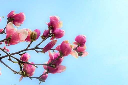 Flower, Magnolia, Nature, Tree, Branch, Spring, Pink