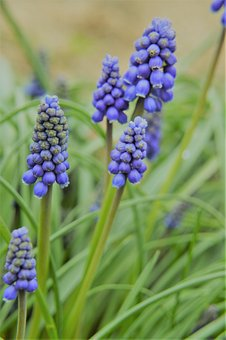 Muscari, Flower, Plant, Colorful, Nature, Garden