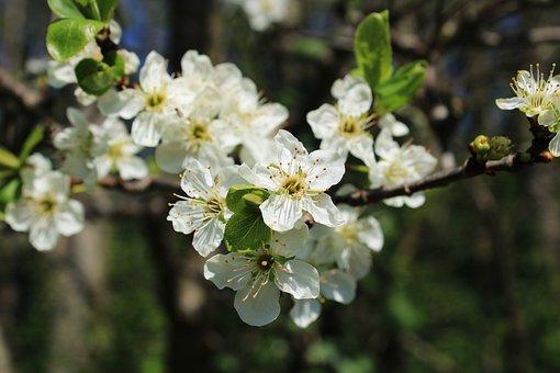 Blossom, Plum Blossom, Branch, Plum Tree, Plum