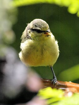 Bird, Blue Tit, Nature, Songbird, Plumage, Cute, Cheeky