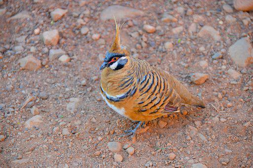 Spinifex Pigeon, Geophaps Plumifera, Plumed-pigeon