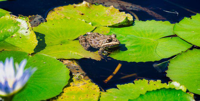Frog, Lilypad, Pond, Green, Nature, Water, Aquatic