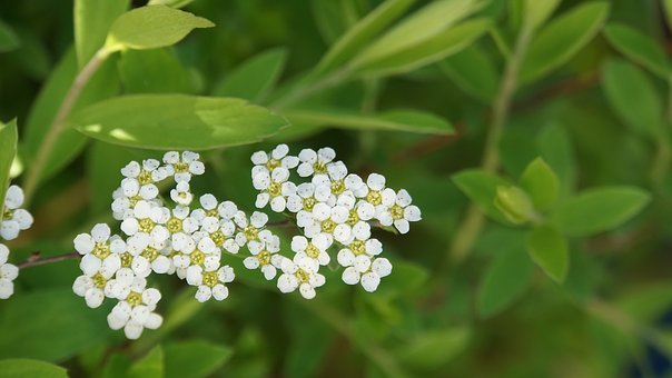Flowers, Small, White, Bloom, Nature, Green, Leaves