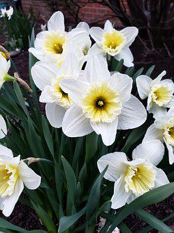 Daffodil, Spring, Flowers, Blooms, Yellow, Bloom, Plant