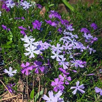 Creeping Phlox In The Ozarks, Phlox, Spring, Purple