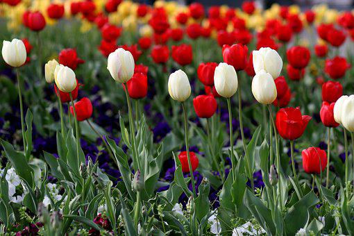 Tulips, Flowers, Red, White, Garden, Coloring, Spring