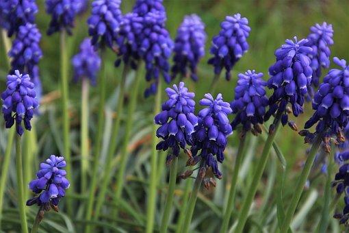 Spring, Muskari, Grape Hyacinths, Minor, Plant, Blue