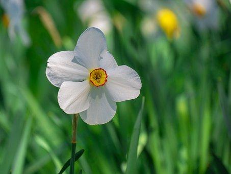 Flower, Narcissus, Blossom, Bloom, Springtime, Plant
