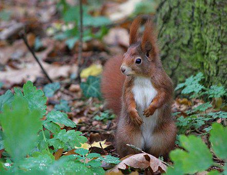 The Squirrel, Rusty, Standing, Rodent, Mammal, Nature