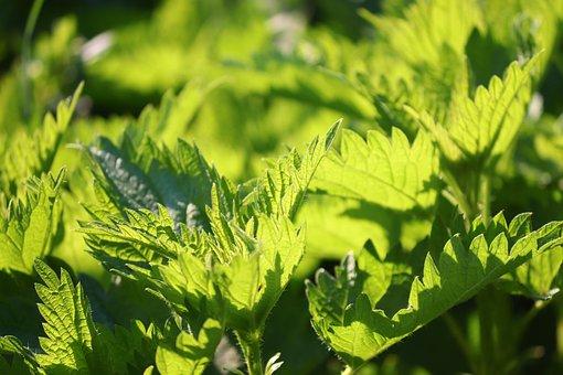 Stinging Nettle, Urtica, Nettle Leaves, Medicinal Plant