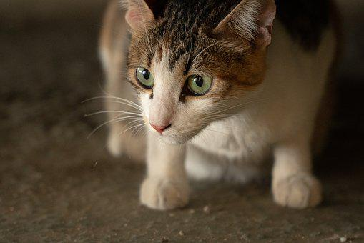 Cat, Animal, Feral Cat, Stray Cat
