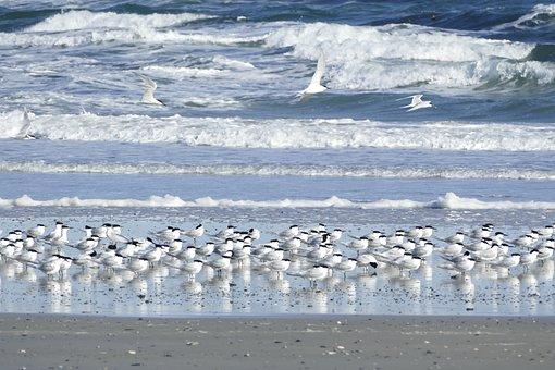 Terns, Sandwich Tern, Seevogel, Tern, Surf
