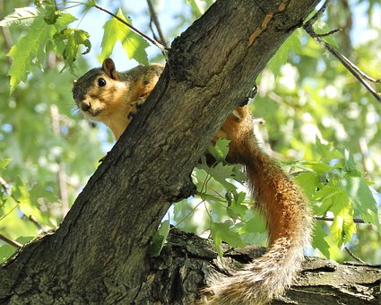 Squirrel, Up, Tree, Nature, Animal, Outside, Wildlife
