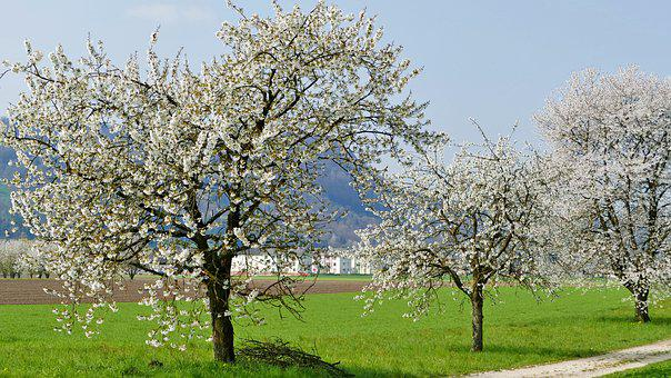 Landscape, Nature, Trees, Away, Meadow, Sun, Blossom